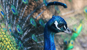 peacock 300x174 1
