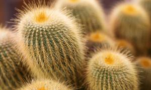 cacti 300x179 1